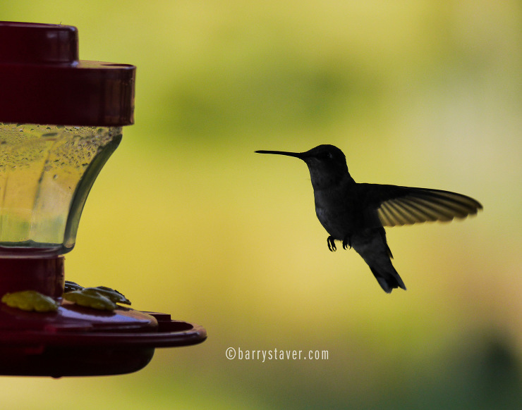 Hummingbird coming in for a landing.